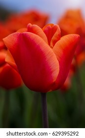 Orange perfection. A beautiful orange tulip with blurred background