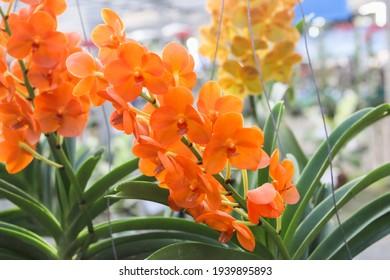 Orange phalaenopsis orchid flower full blooming.
