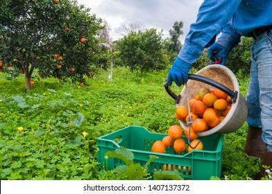Orangenpflücker bei der Arbeit beim Entladen eines Korbes voller Orangen in einer größeren Fruchtbox während der Erntezeit in Sizilien