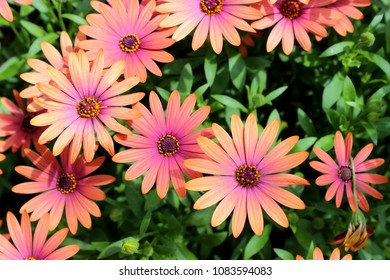 ORANGE AND PINK AFRICAN DAISIES