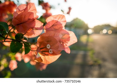 Orange and pink Bougainvillea flowering in a neighborhood garden as the sun starts to set in the background.