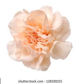 orange pink carnation isolated on white background