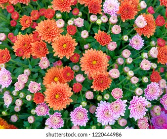 orange and pink chrysanthemums top view close up, floral background
