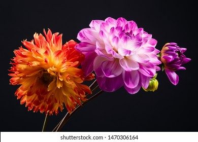 Orange and pink dahlia flowers isolated on a dark background