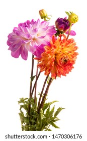 Orange and pink dahlia flowers isolated on a white background