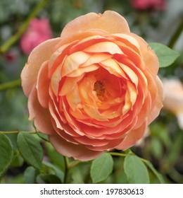 "Orange, pink and peach flower of the Lady of Shalott David Austin rose - Rosa ""Lady of Shalott' (Ausnyson) -in the garden"