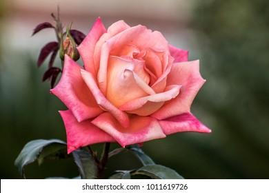 Orange Pink Rose