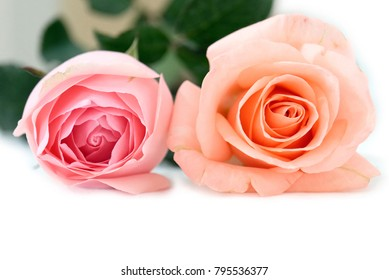 Orange and pink rose isolated white background.Selective focus depth of field.