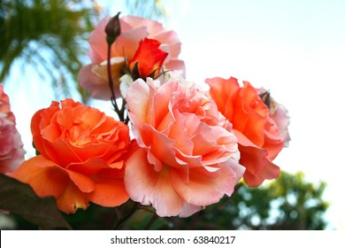 Orange and pink roses close up picture.