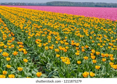 Orange and pink tulips in a flowerfield in the Netherlands
