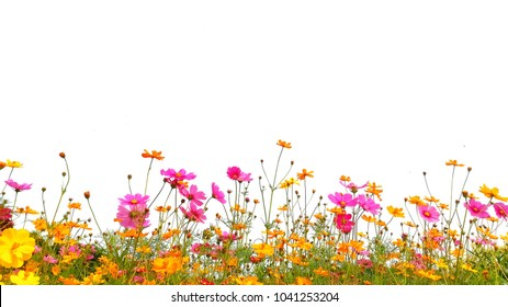 Orange, pink and yellow cosmos flowers are bloom on a white background.