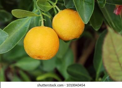 Orange plant in garden