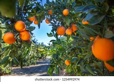 Orange plantation in California USA