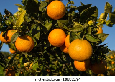 Orange plantation getting  close to harvest time, branches loaded with ripe fruit