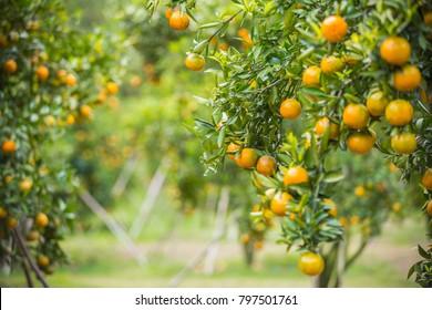 Orange plantation, Ripe juicy sweet orange in orange orchard, Food Sources of Vitamin C, selective focus
