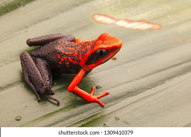 Orange poison dart frog, Ameerega silverstonei.  A tropical rain forest animal from the Amazon jungle in Peru.