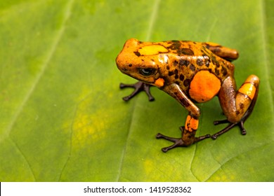 Orange poison dart frog Oophaga histrionica from the tropical rain forest of Colombia. A poisonous small jungle animal. Toxic dartfrog on green leaf