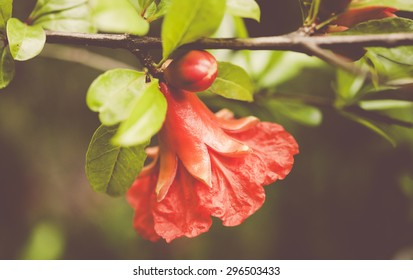 orange pomegranate blossoms and petals close up - green dreamy background
