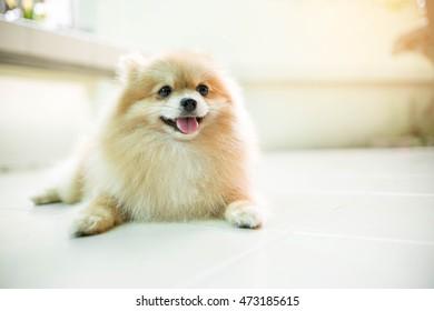 Orange pomeranian dog sleeping smile