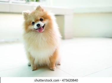 Orange pomeranian dog  smile