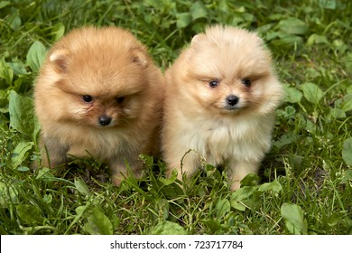 Orange Pomeranian Spitz puppies are sitting on green grass