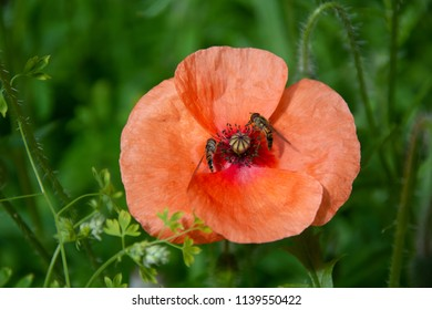 Orange poppy against green foliage with two insects feeding