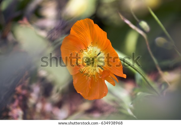 Orange poppy bud beautiful flower