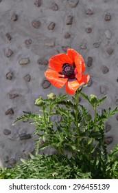 Orange poppy flower growing in sunlight