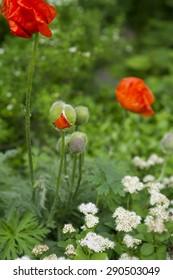 Orange poppy flowers in the forest.