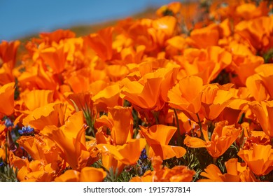 Orange poppy flowers are the iconic California flowers. Every March and April, thousands of people visited Antelope Valley California Poppy Preserve to enjoy the wildflowers.