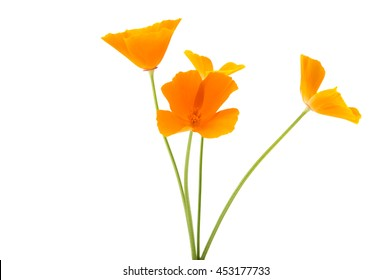 orange poppy on a white background