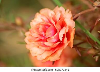 Orange portulaca oleracea flower grandiflora in a garden