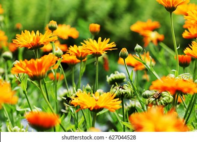 Orange pot marigold bloosom - Calendula officinalis field .