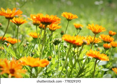 Orange pot marigold bloosom - Calendula officinalis field