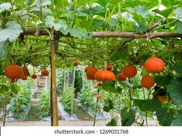 Orange pumpkin agriculture hanging at bamboo pergola in farm background. Orange pumpkin planting with bamboo arbor