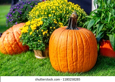 orange pumpkin and chrysanthemums in the garden. garden decor of flowers and pumpkins. Copy space for your text