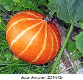 Orange Pumpkin in the garden