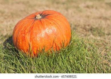 Orange pumpkin in green grass sun bright. Autumn harvest Thanksgiving or Halloween. Pumpkin closeup on green grass. Blurred background