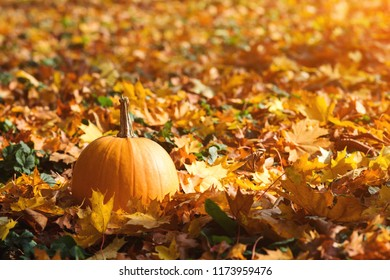 Orange pumpkin on autumn leaves background. Autumn card with pumpkin. Golden autumn. Autumn mood. Pumpkin outdoors. Copy space