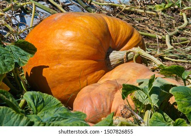 An Orange Pumpkin - Pumpkin Patch