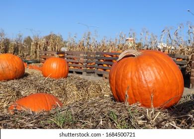 orange pumpkin, ready for Halloween