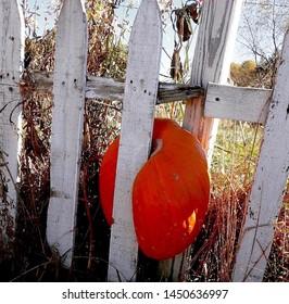 Orange pumpkin stuck in fence