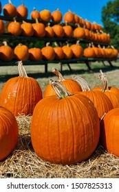 Orange Pumpkins on a Farm - Pumpkin Patch