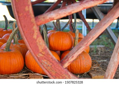 Orange Pumpkins on a Farm - Pumpkin Patch