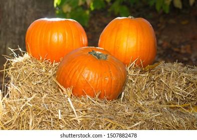 Orange Pumpkins on Hay/ Wheat Straw