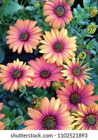 Orange and purple African daisy (Osteospermum) flowers