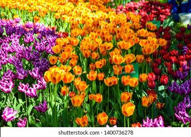Orange purple tulip flowers blooming sprin blossom. Spring blooming tulip festival in Saint Petersburg, Russia. Spring blooming tulip flowers. Orange tulips view