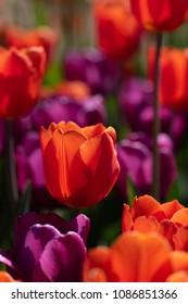 Orange and purple tulips.