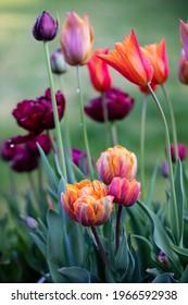 Orange and purple tulips flowering in spring