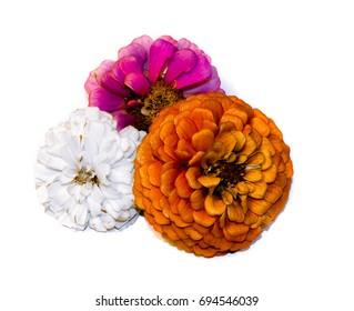 orange, purple, and white zenias at the end of their life